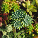 Succulents for the holidays