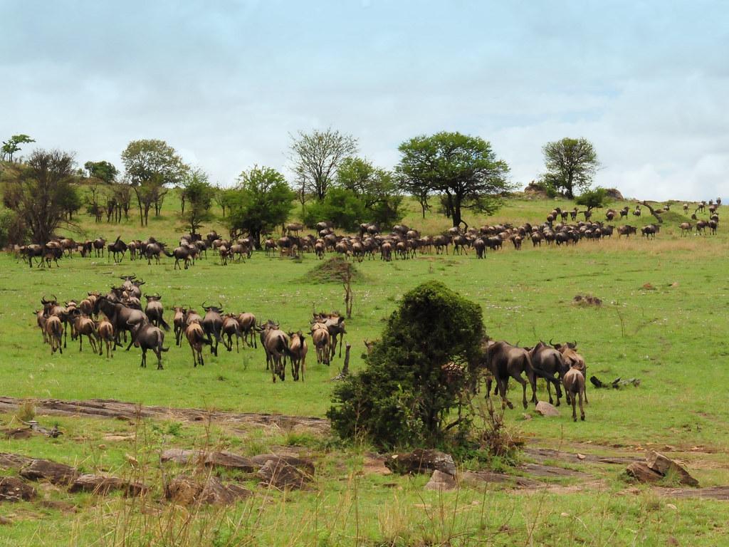 Blue Wildebeest on migration | Connochaetes taurinus ... Will Smith