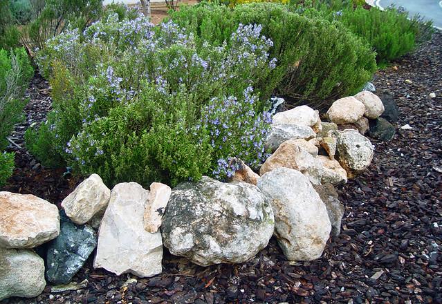 Plantas de romeros en el jard n entre las plantas for Jardin de plantas aromaticas