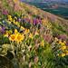 Steptoe Butte Wild Flower Explosion, Palouse