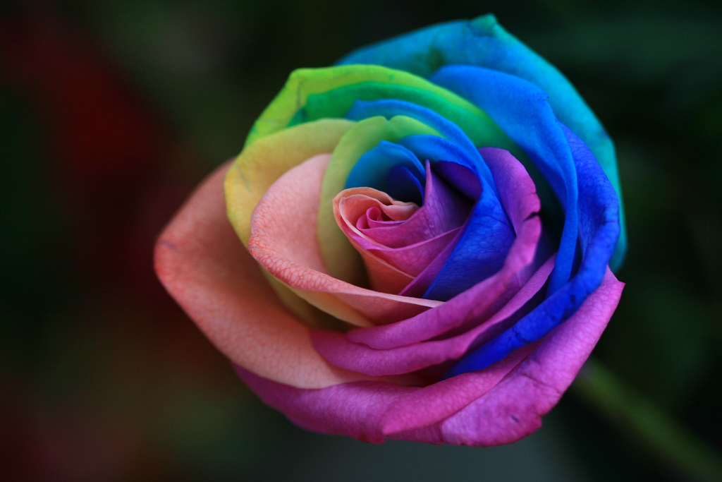 Rainbow rose intvgene flickr for How to make a multicolored rose