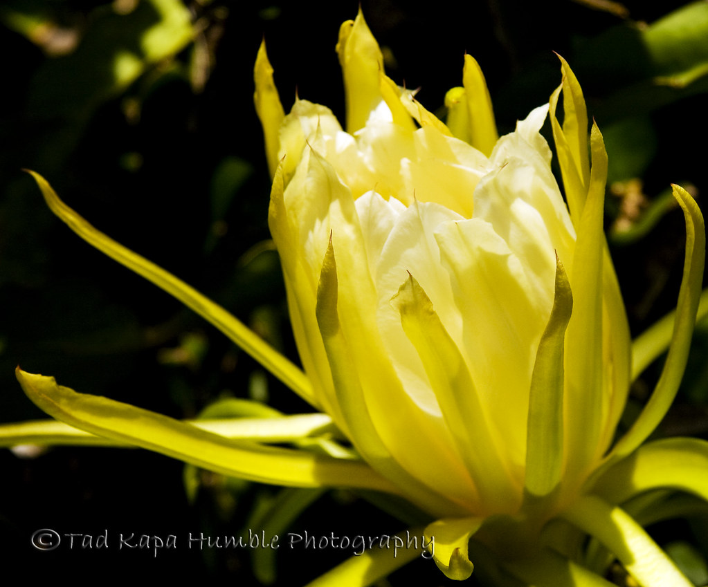 Night Blooming Cereus A cactus flower that only blooms at …