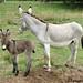 The Daily Donkey 133 - Daphne and Baby Fernando