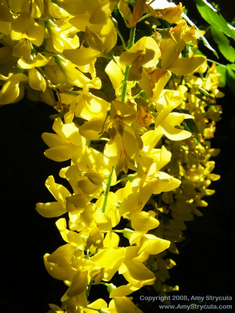 Yellow hanging flowers a tree covered in beautiful yellow flickr yellow hanging flowers by amycicconi yellow hanging flowers by amycicconi mightylinksfo
