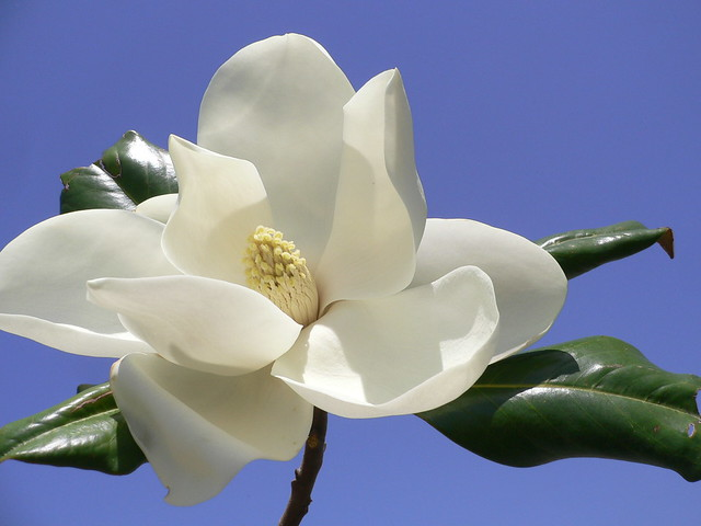 magnolia flowers magnolia grandiflora commonly known as t flickr