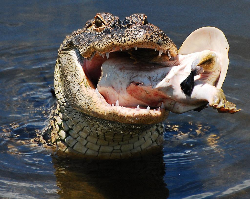 Gator chomping on turtle | Explore #275 I love this ...