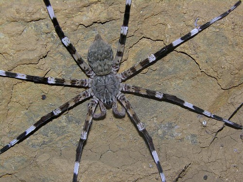 Giant African Spider Giant African C...
