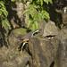 5746 白腹秧雞爬石頭