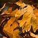 More Oak Fall Leaves