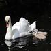 Swan & 2 Cygnets