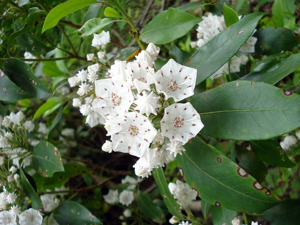 Mountain Laurel Pennsylvania State Flower Keana