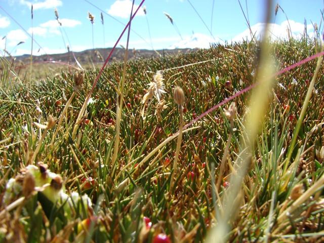 Orchidaceae aa nervosa kraenzl schlechter jard n for Jardin botanico vina