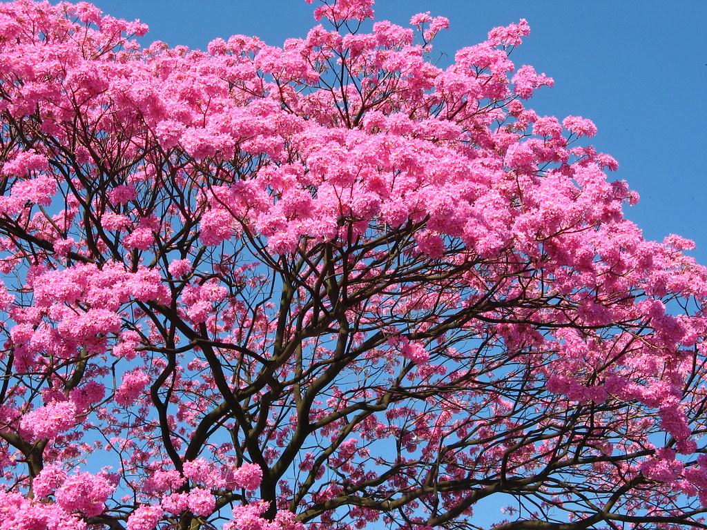 ype roxo (tabebuia impetiginosa) brazilian walnut tree - t… | Flickr Brasil
