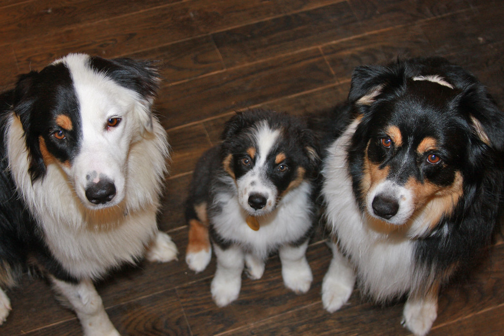 Are Australian Shepherds Good With Other Dogs