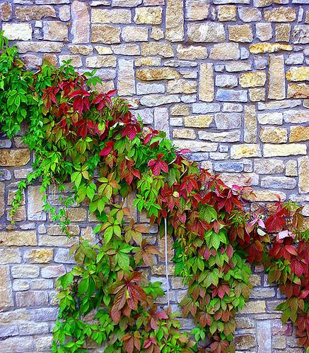 Enredadera y pared de piedra albert c flickr - Humedades en las paredes ...