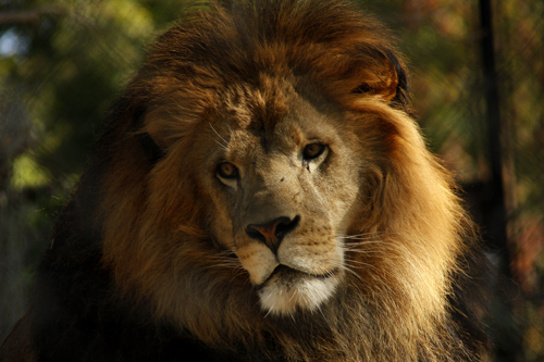 who is king of the jungle lion or tiger