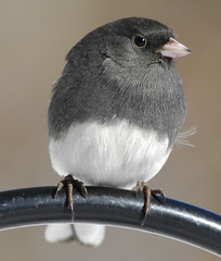 Dark eye Junco | by hoganphoto