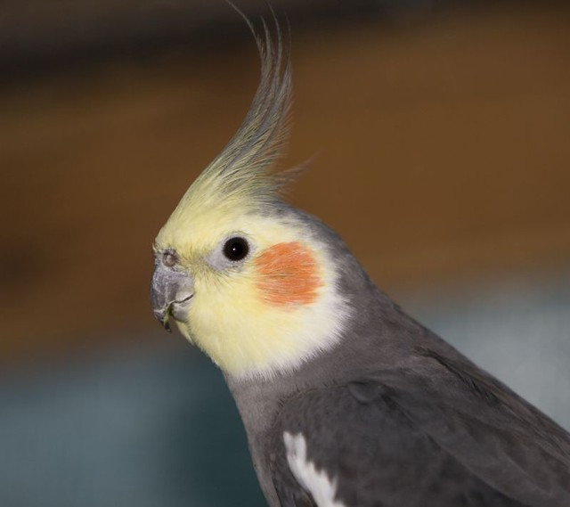 Cockatiel | One of the...