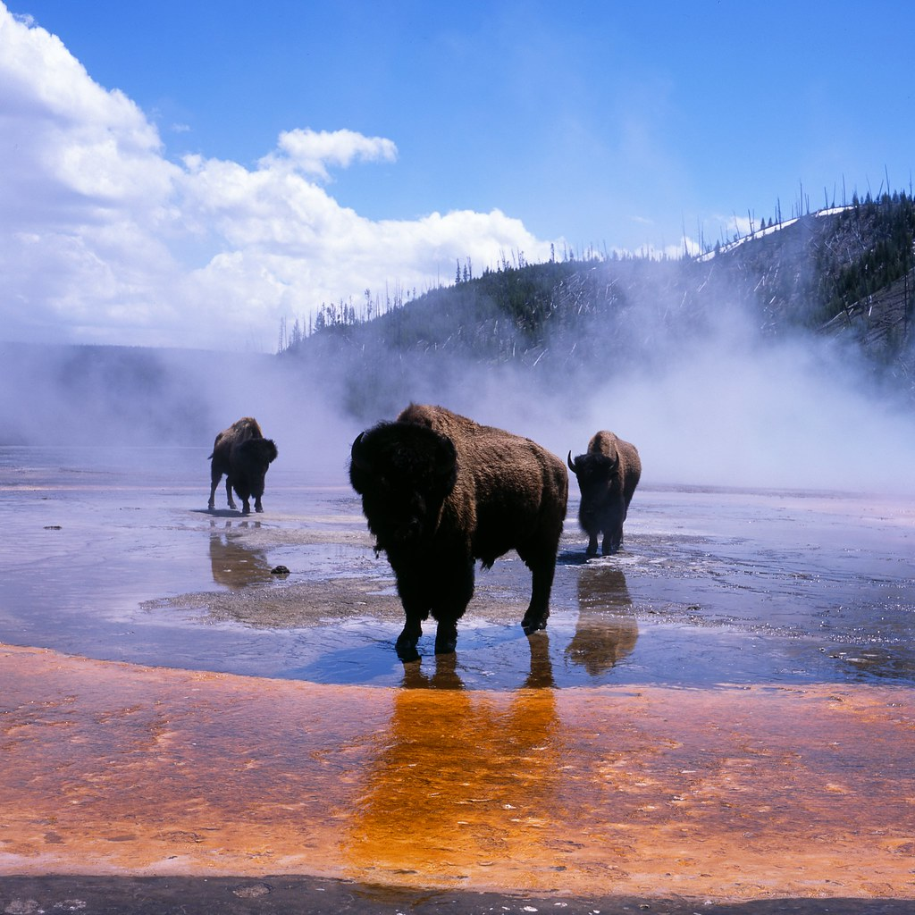 Bison at Grand Prismatic Spring | In Yellowstone National ...
