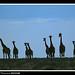 Giraffe silouette