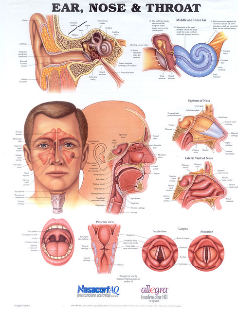 Ear Nose And Throat Diagram Renee Moller Flickr