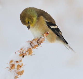 American Goldfinch Searching for Seeds | by Darin Ziegler