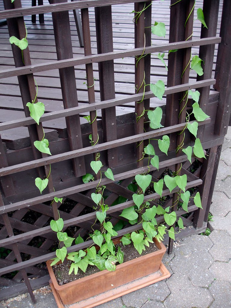 Trellis vines slowly but surely the morning glory and for Evergreen climbing plants for privacy