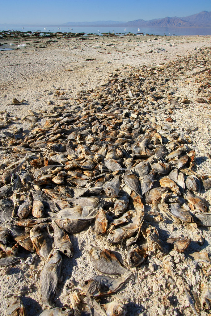 Fish kill salton sea salton sea state recreation area n for Salton sea fishing report