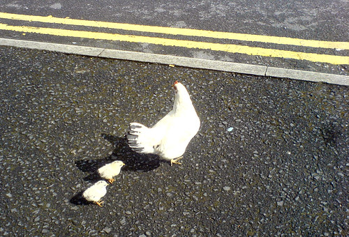 Chickens, road; about to cross, Why ? | by marc e marc