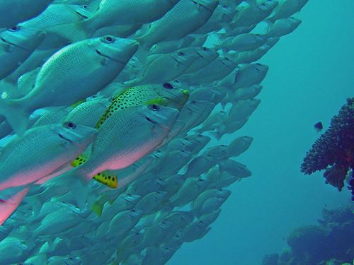 Resultat d'imatges de banc de peixos