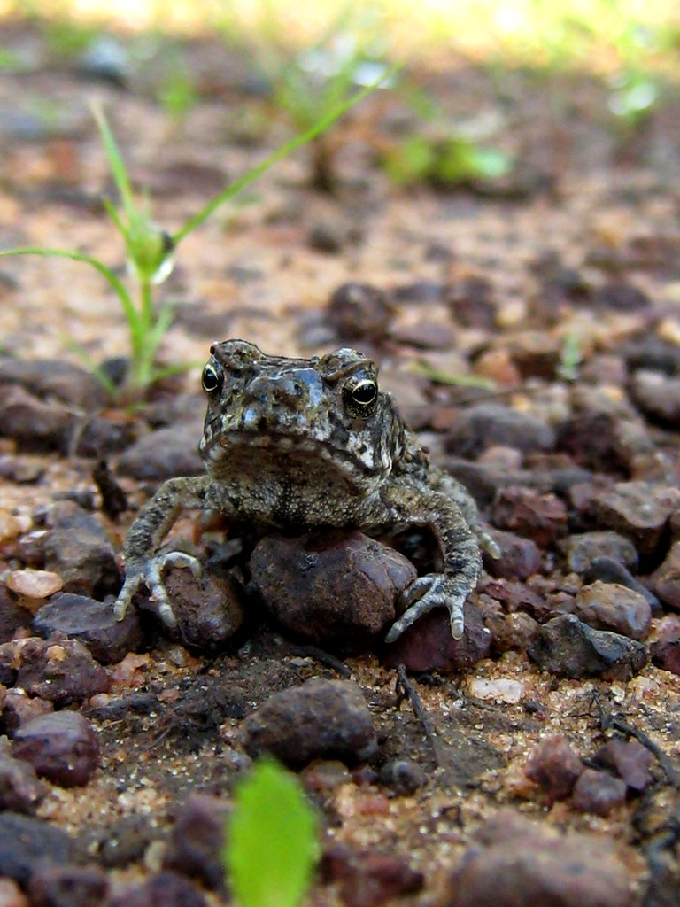 how to get rid of cane toads in backyard