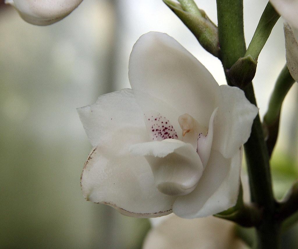 Atlanta Garden Of Bill Hudgins: Dove Orchid, Atlanta Botanical Garden