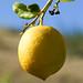 Limão // Lemon (Citrus limon)