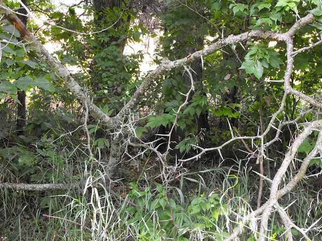 Thorn Tree Vines Flickr Photo Sharing