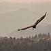 California Condor(Gymnogyps californianus)