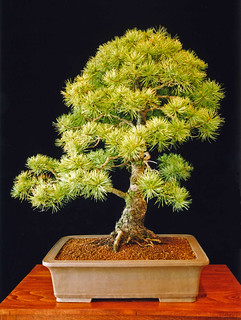 Japanese White Pine Bonsai Tree, Pinus parviflora | by Steve Greaves