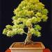 Japanese White Pine Bonsai Tree, Pinus parviflora