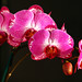 pink and red orchids