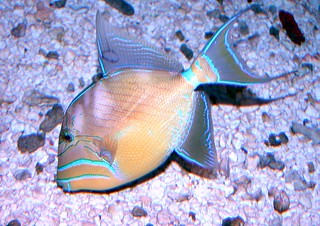 Queen triggerfish | by keywest aquarium