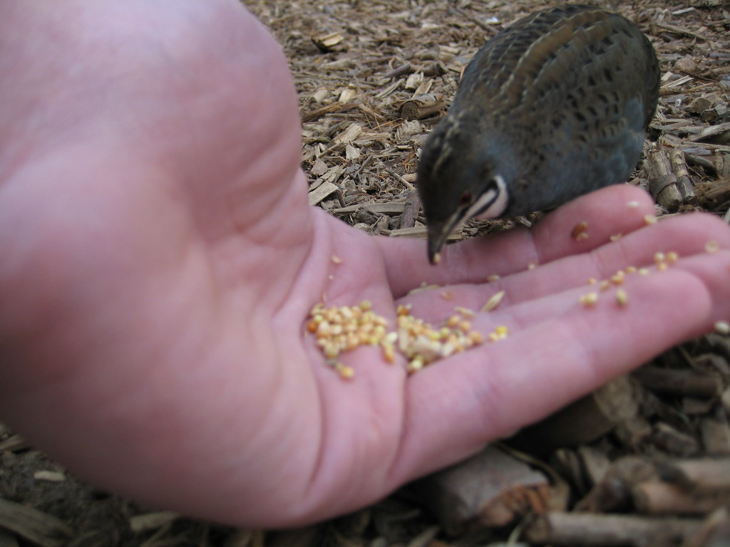 Chinese painted button quail | Our chinese painted button ...
