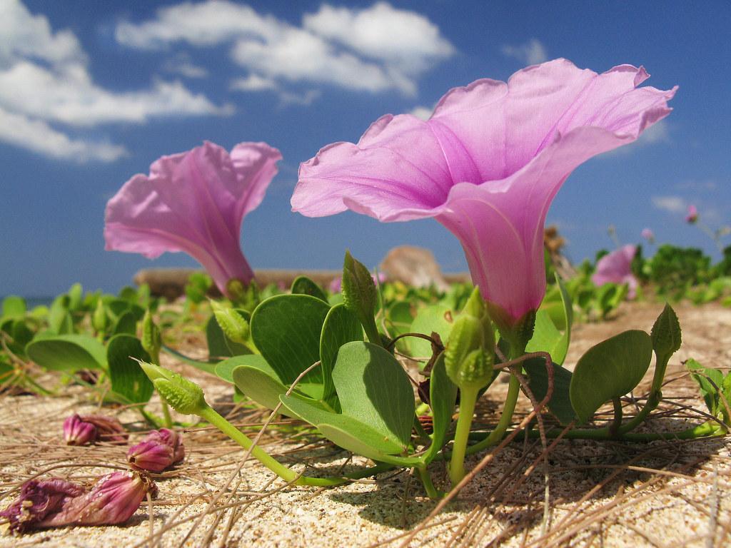 pink beach flower thailand asia strand rosa blume pink. Black Bedroom Furniture Sets. Home Design Ideas