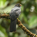 Lattice-tailed Trogon - female