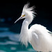 Egret by Water