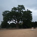 Old Glory - 400+ Year old Oak Tree