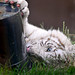 Playing white tiger cub