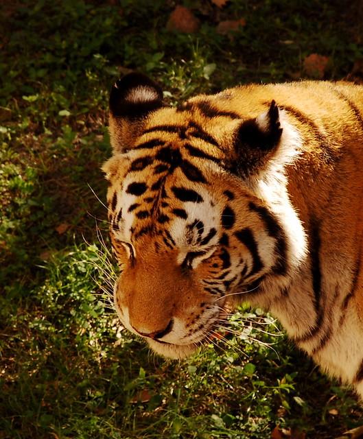 Asian Tiger (Panthera Tigris) Along