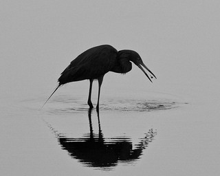 Egret with fish BW | by Steve Russell9