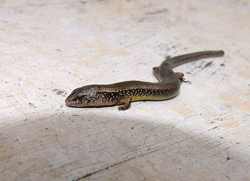 Lizard That Looks Like a Snake With Legs Legs Almost Snake-like