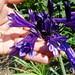 Agapanthus Black Panther blooms