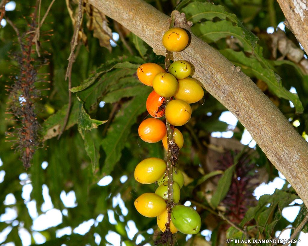 hicksbeachia pinnatifolia - red bopple nut monkey nut